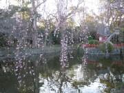 CherryBlossomInMishimaTaisha