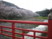 CherryTreeInNakagawa
